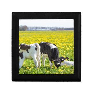 Three newborn calfs in spring dandelions meadow gift box