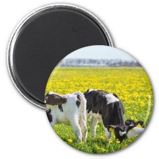 Three newborn calfs in spring dandelions meadow magnet