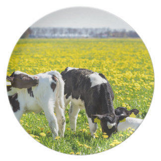 Three newborn calfs in spring dandelions meadow plate