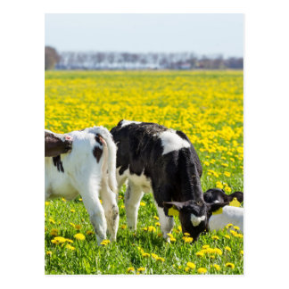 Three newborn calfs in spring dandelions meadow postcard