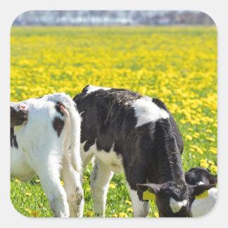 Three newborn calfs in spring dandelions meadow square sticker