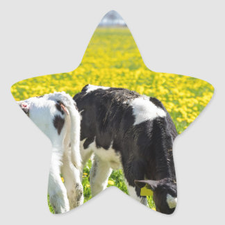 Three newborn calfs in spring dandelions meadow star sticker
