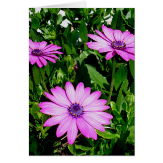 Three Pink Daisy Flowers Card