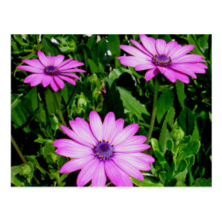 Three Pink Daisy Flowers Postcard