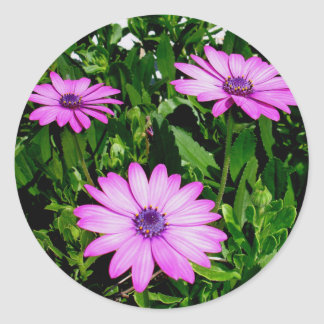 Three Pink Daisy Flowers Round Sticker