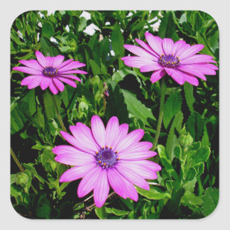 Three Pink Daisy Flowers Square Sticker