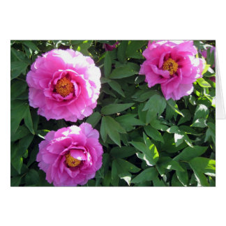 Three Pink Peonies Card