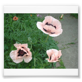 Three Pink Poppies Photograph