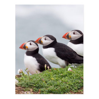 Three Puffins Postcard