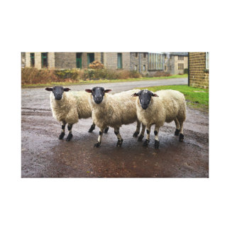 Three Sheep, Photograph Canvas Print