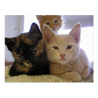 Three Shelter Kittens Postcard