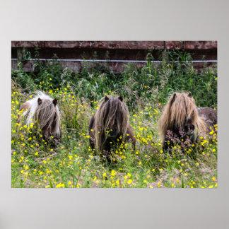 Three Shetland pony stallions in a field Poster