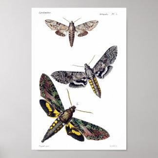 Three sphinx moths poster
