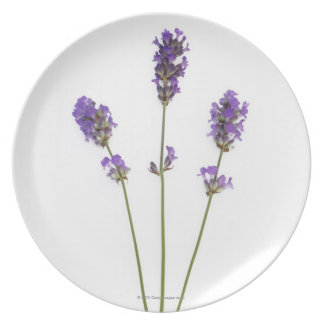 Three stems of English purple lavender flowers, Plate