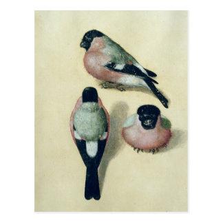 Three studies of a bullfinch postcard