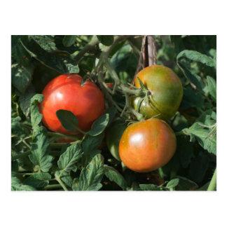 Three Tomatoes Postcard
