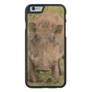 Three Warthog Piglets Suckle On Their Mother Carved® Maple iPhone 6 Case