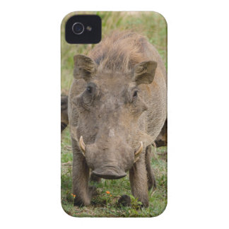 Three Warthog Piglets Suckle On Their Mother Case-Mate iPhone 4 Case