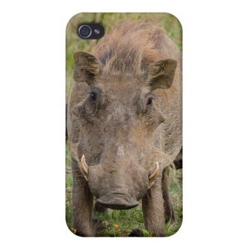 Three Warthog Piglets Suckle On Their Mother iPhone 4 Case