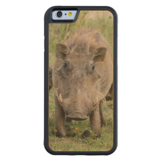 Three Warthog Piglets Suckle On Their Mother Carved® Maple iPhone 6 Bumper Case
