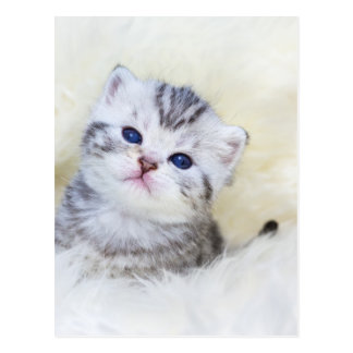 Three weeks old young cat sitting on sheep fur postcard