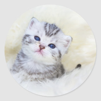 Three weeks old young cat sitting on sheep fur round sticker