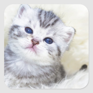 Three weeks old young cat sitting on sheep fur square sticker