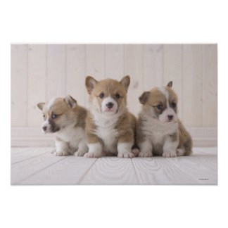 Three Welsh Corgi Poster