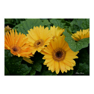 Three Yellow Gerbera Daisies poster