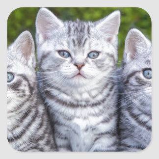 Three young silver tabby cats in checkered basket square sticker