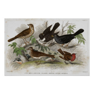 Thrush Antique Lithograph print
