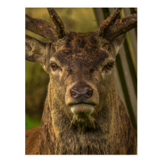 Thug deer postcard