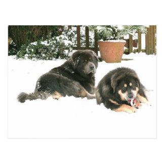 Tibetan Mastiff Caspar & Jampo Postcard