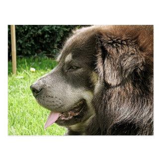 tibetan mastiff.png postcard