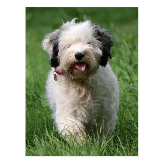 tibetan terrier pup postcard