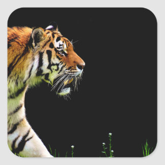Tiger Approaching - Wild Animal Artwork Square Sticker