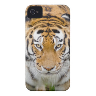 Tiger Beside Tree iPhone 4 Case-Mate Case