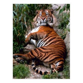 Tiger Big Cat prints  Postcard