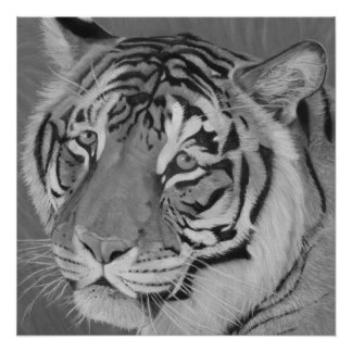 tiger big cat with sad expression wildlife art perfect poster