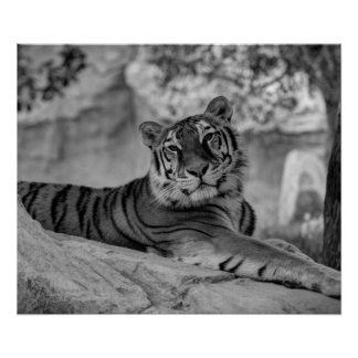 Tiger BlacknWhite Poster