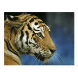 Tiger CloseUp Sideways Photograph Post Cards