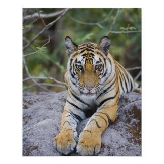 Tiger cub, Bandhavgarh National Park, India Poster