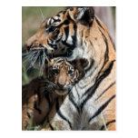 Tiger cub postcards