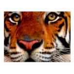 Tiger Face Closeup Postcards