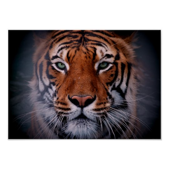 Tiger Face Eyes Stunning Big Cat A3 Poster