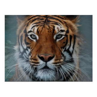 Tiger Face Postcard