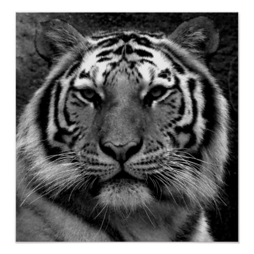Tiger in Black & White Posters