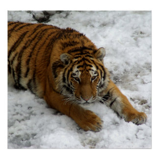 Tiger in the Snow Print