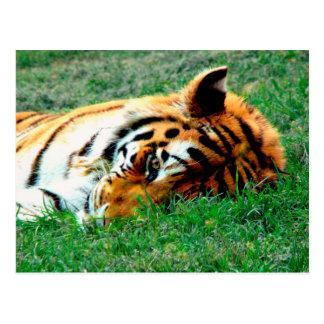 Tiger Lying down Postcard