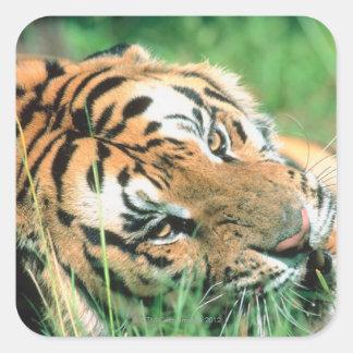 Tiger lying in grass square sticker
